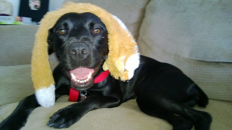 Shadow is a 1 year old Lab-mix for adoption in the Gulf Coast area.