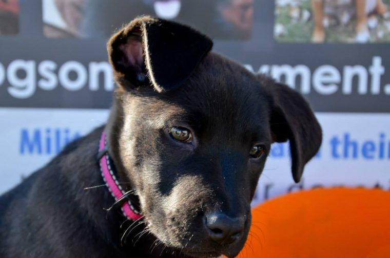 YVBC puppy